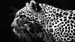 White Leopard Wallpaper 21004
