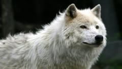 White Wolf 19860