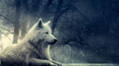 White Wolf Wallpaper 19858