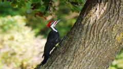Woodpecker Pictures 39723