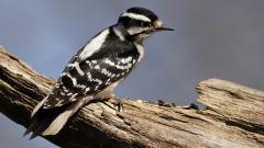 Woodpecker Wallpaper 39717
