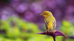 Yellow Bird on Purple Flower Wallpaper 41918