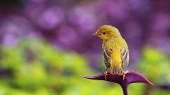 Yellow Bird on Purple Flower Wallpaper 41918