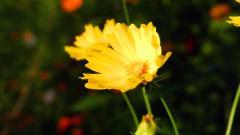 Yellow Bokeh Background 39489