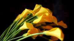 Yellow Calla Lilies HD 21031