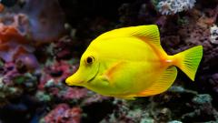 Yellow Fish Desktop Wallpaper HD 22332