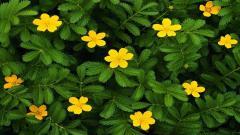 Yellow Flowers 14142