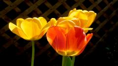 Yellow Flowers 14148