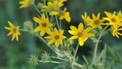 Yellow Flowers 14151