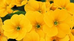 Yellow Flowers 14154