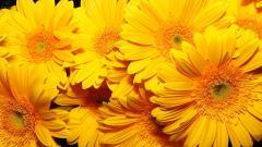 Yellow Flowers 14157