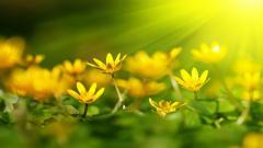 Yellow Flowers 14158