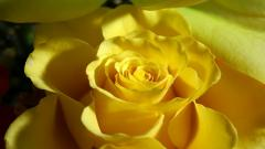 Yellow Rose 14149