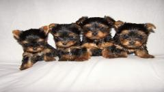 Yorkie Puppies 24227