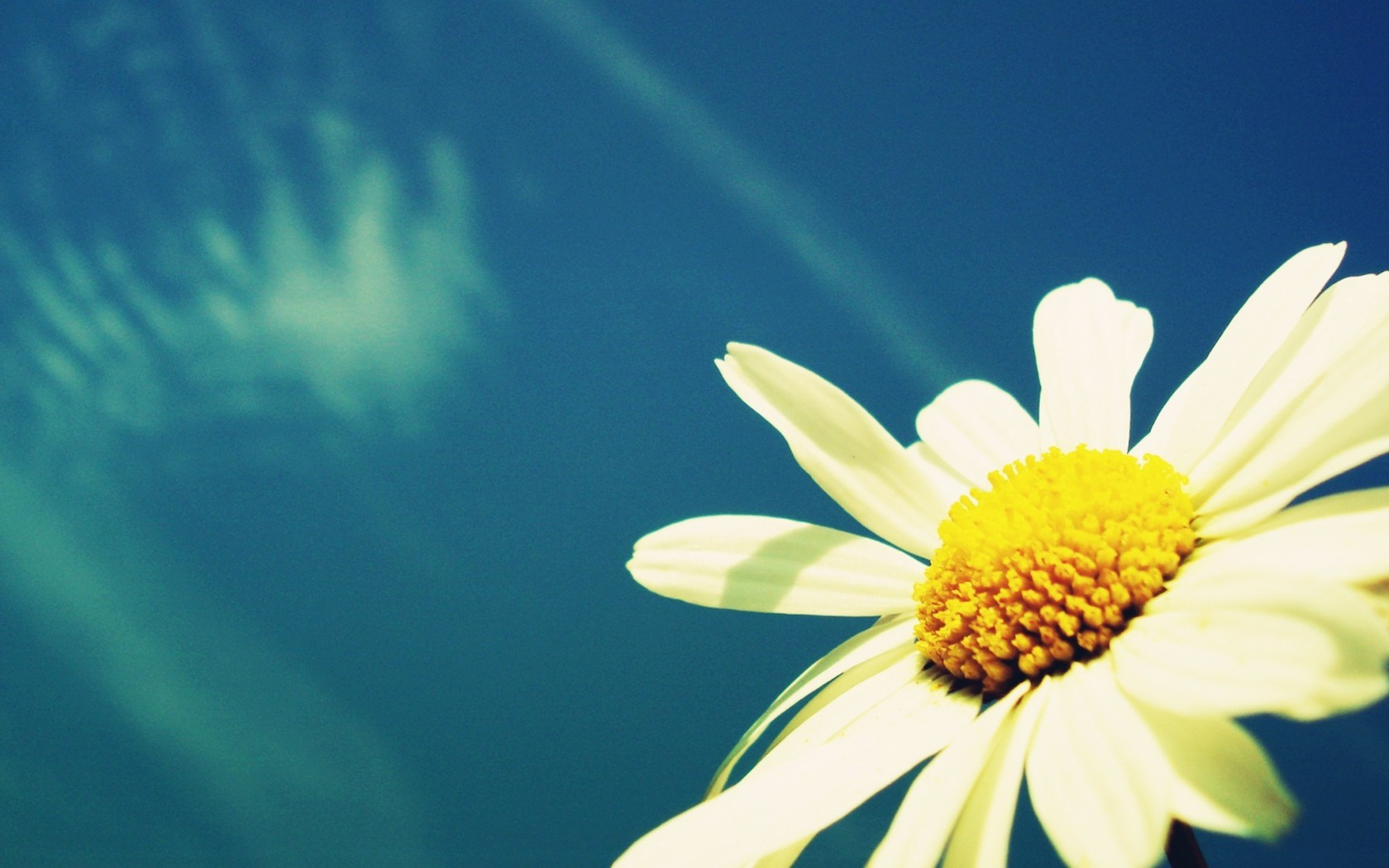white daisy 22198