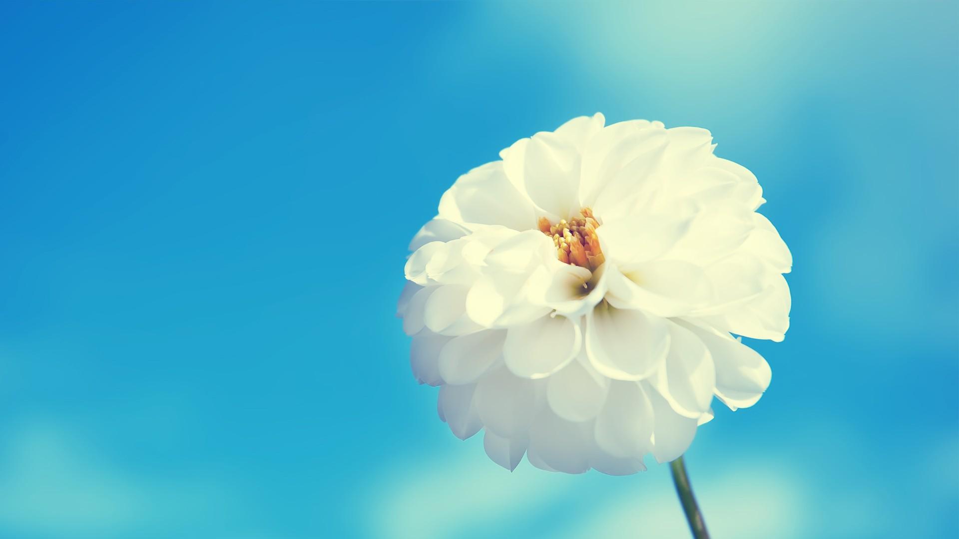 white flowers wallpaper 33697