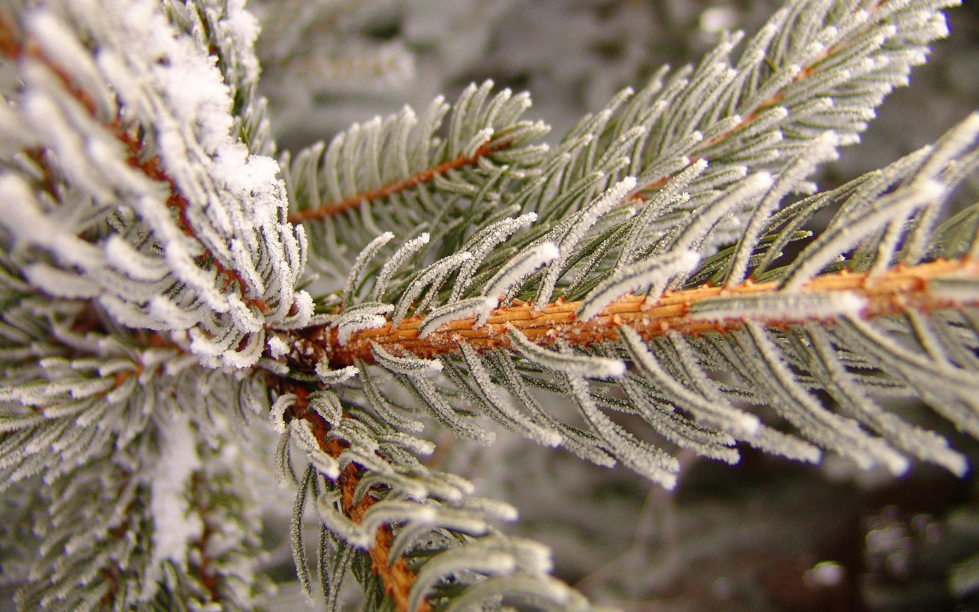 winter spruce wallpaper 39086
