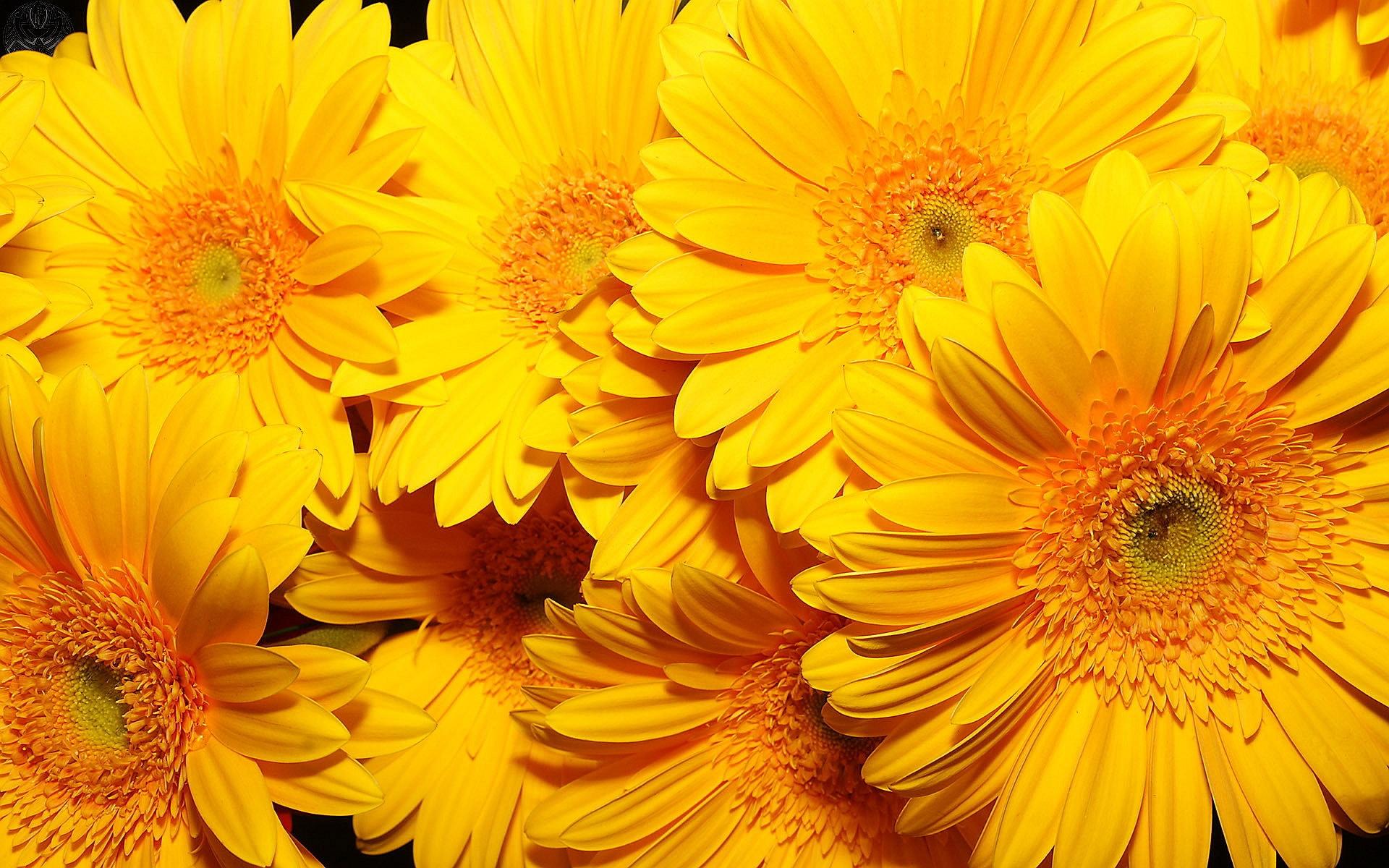 Yellow flowers 14157 1920x1200px yellow flowers 14157 mightylinksfo