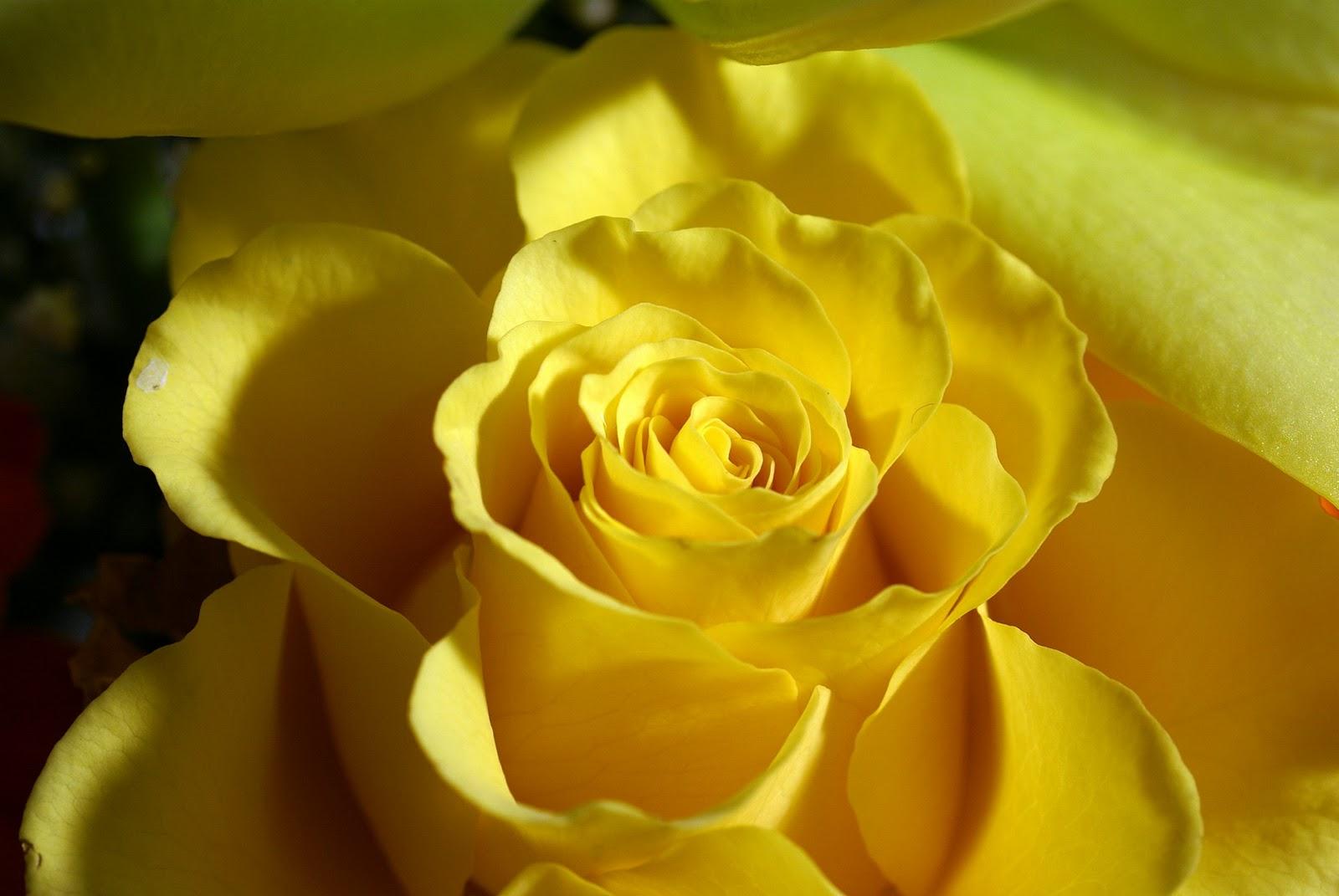 yellow rose 14149