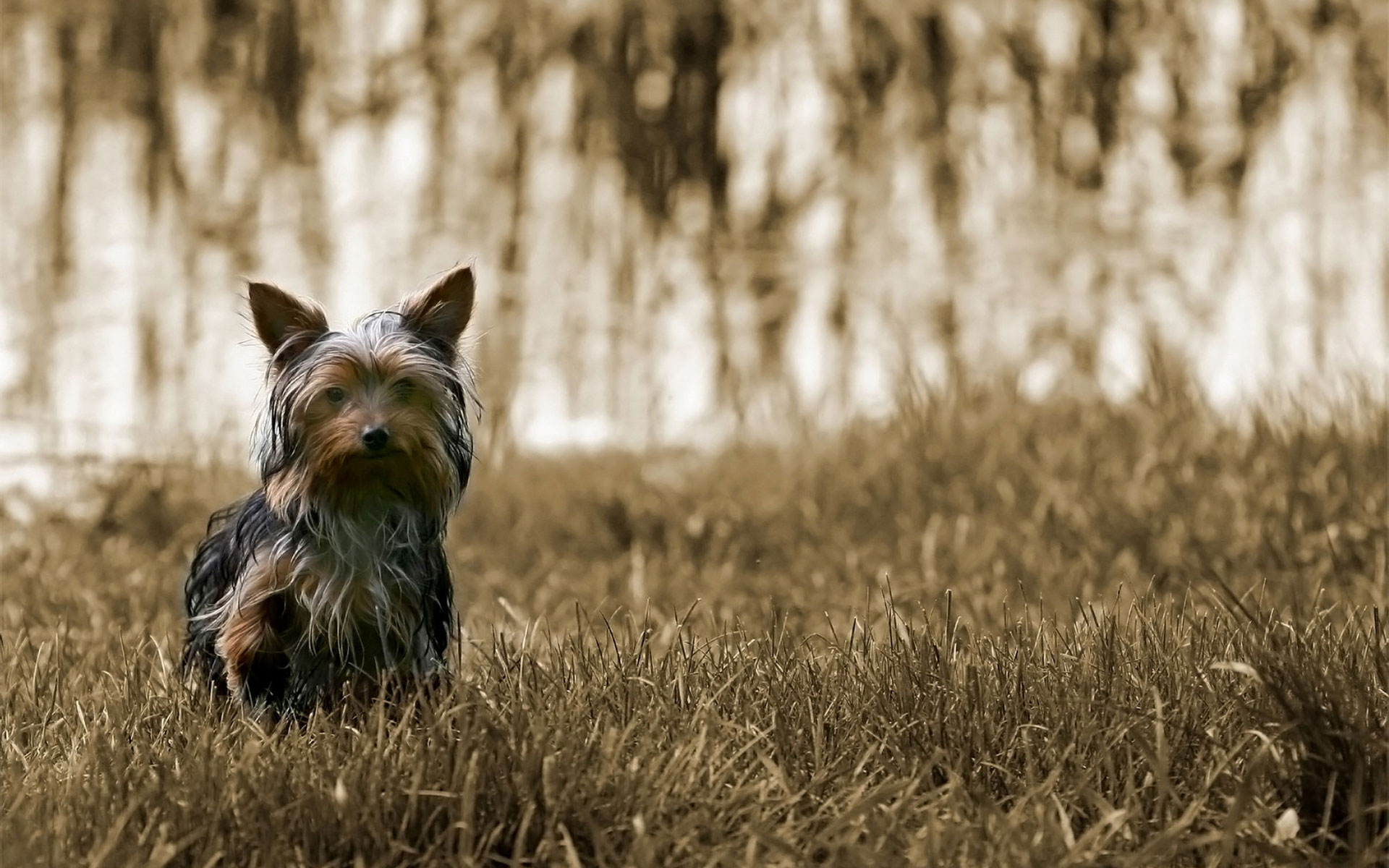 yorkie pictures 24230