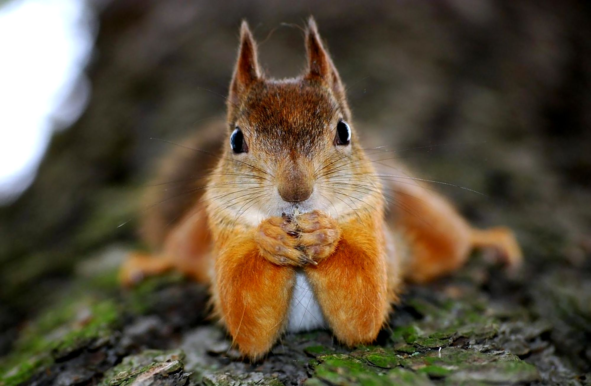 adorable squirrel 34489