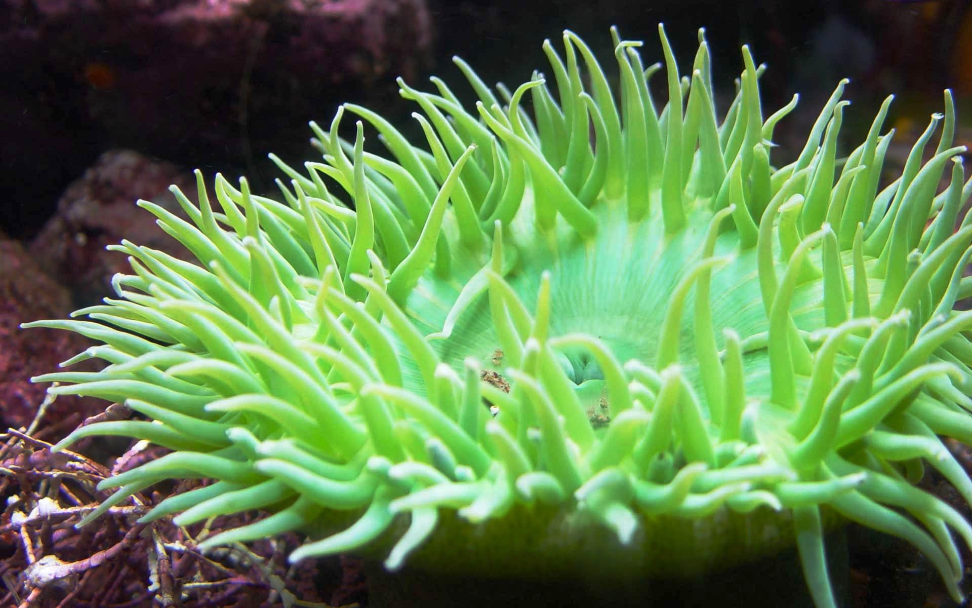 green anemone wallpaper 26016