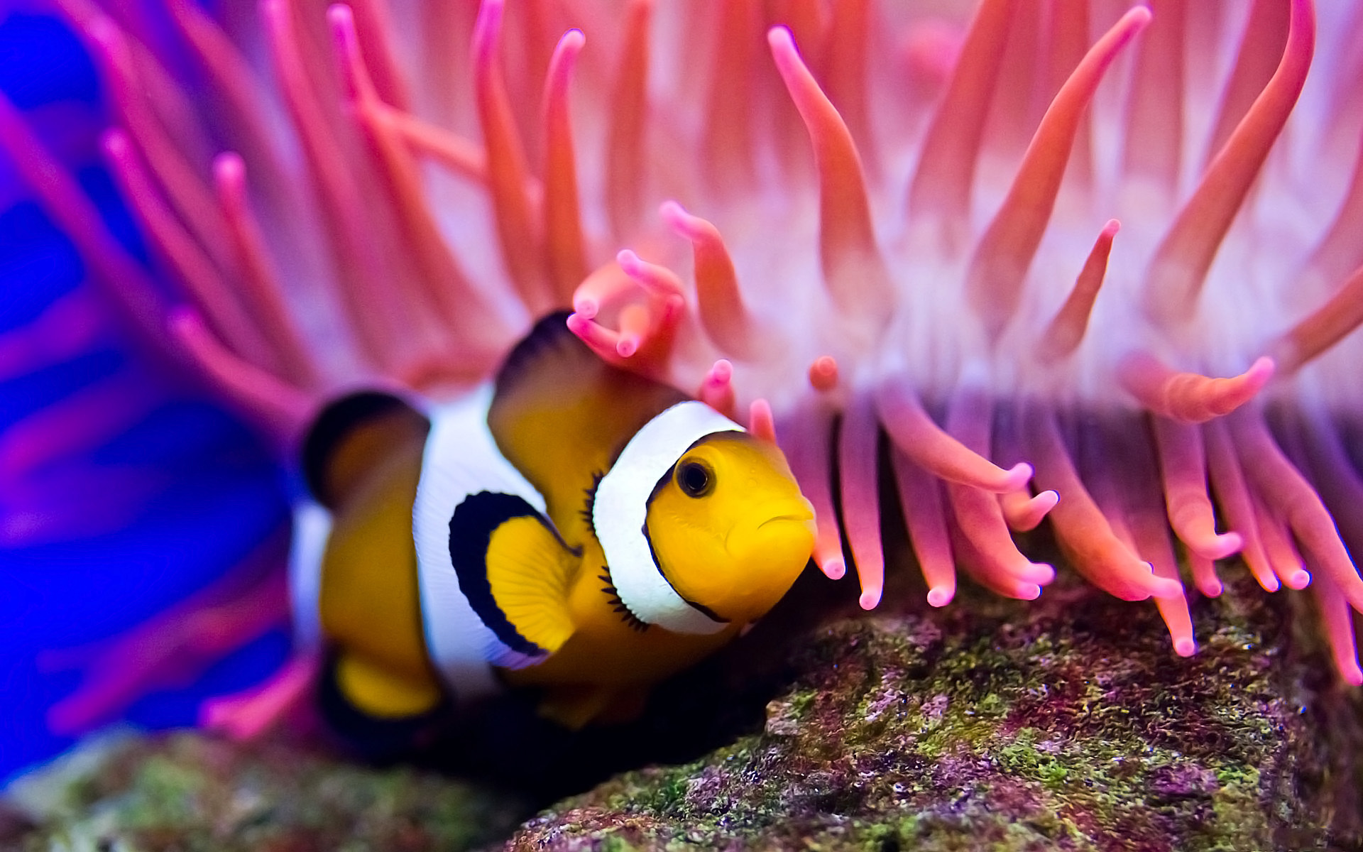 anemone and fish wallpaper 26019