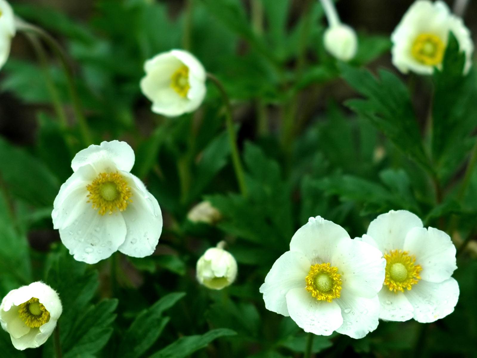 anemone flower 26011