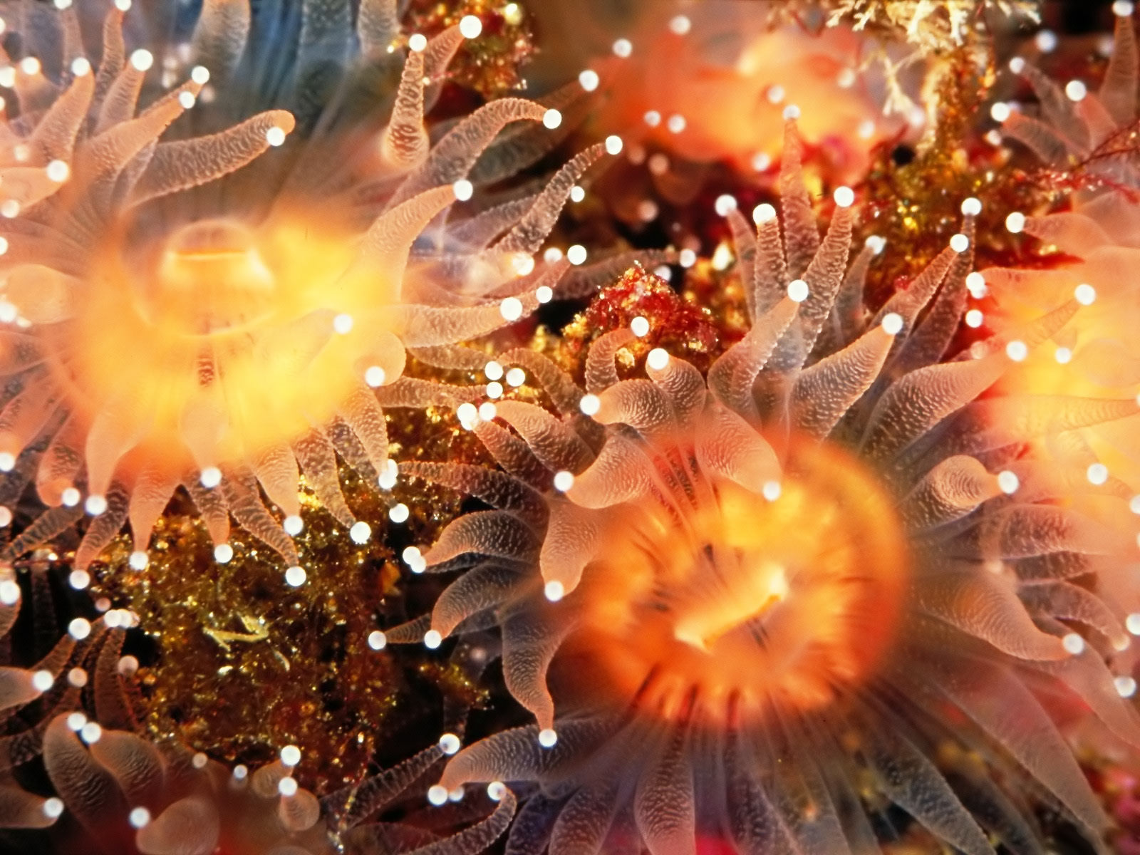 anemone computer wallpaper 26018