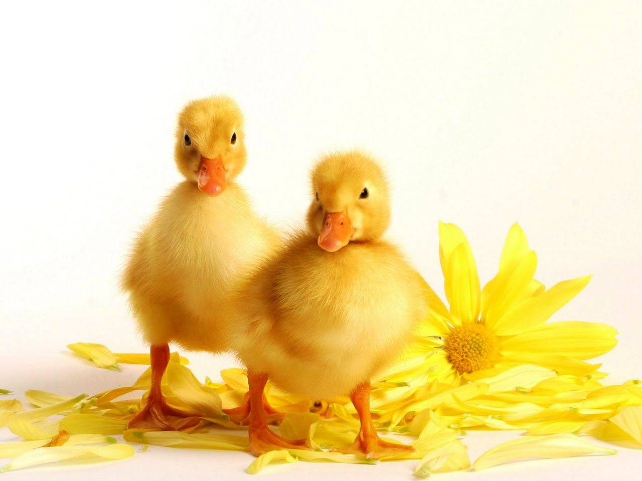 Baby Duck Wallpaper 13937 1280x960 px HDWallSourcecom