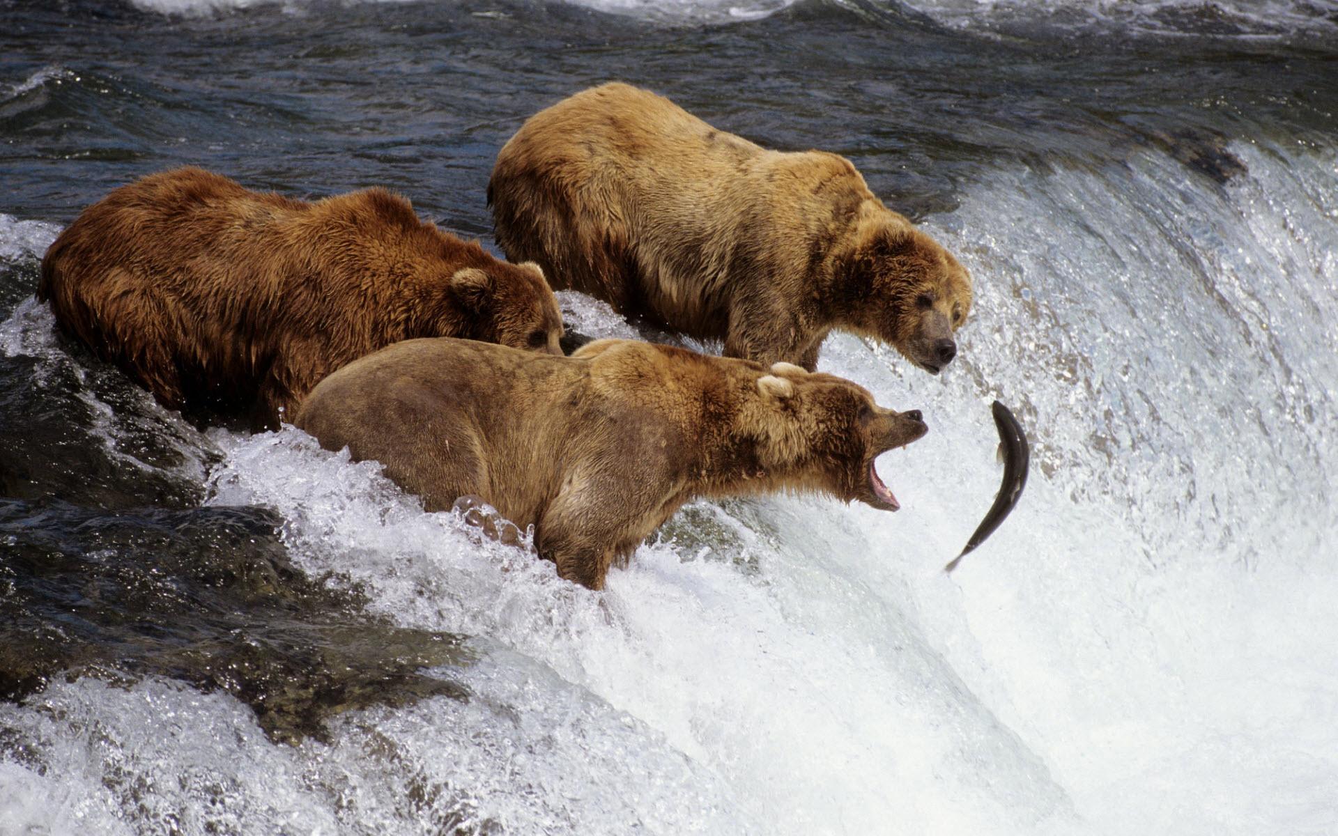 bears desktop wallpaper 12987