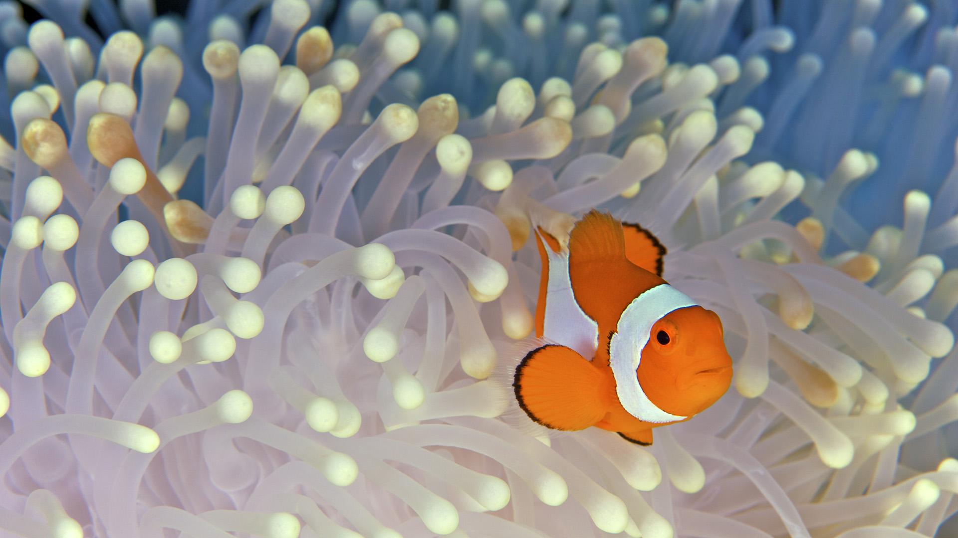 beautiful anemone desktop wallpaper 26021
