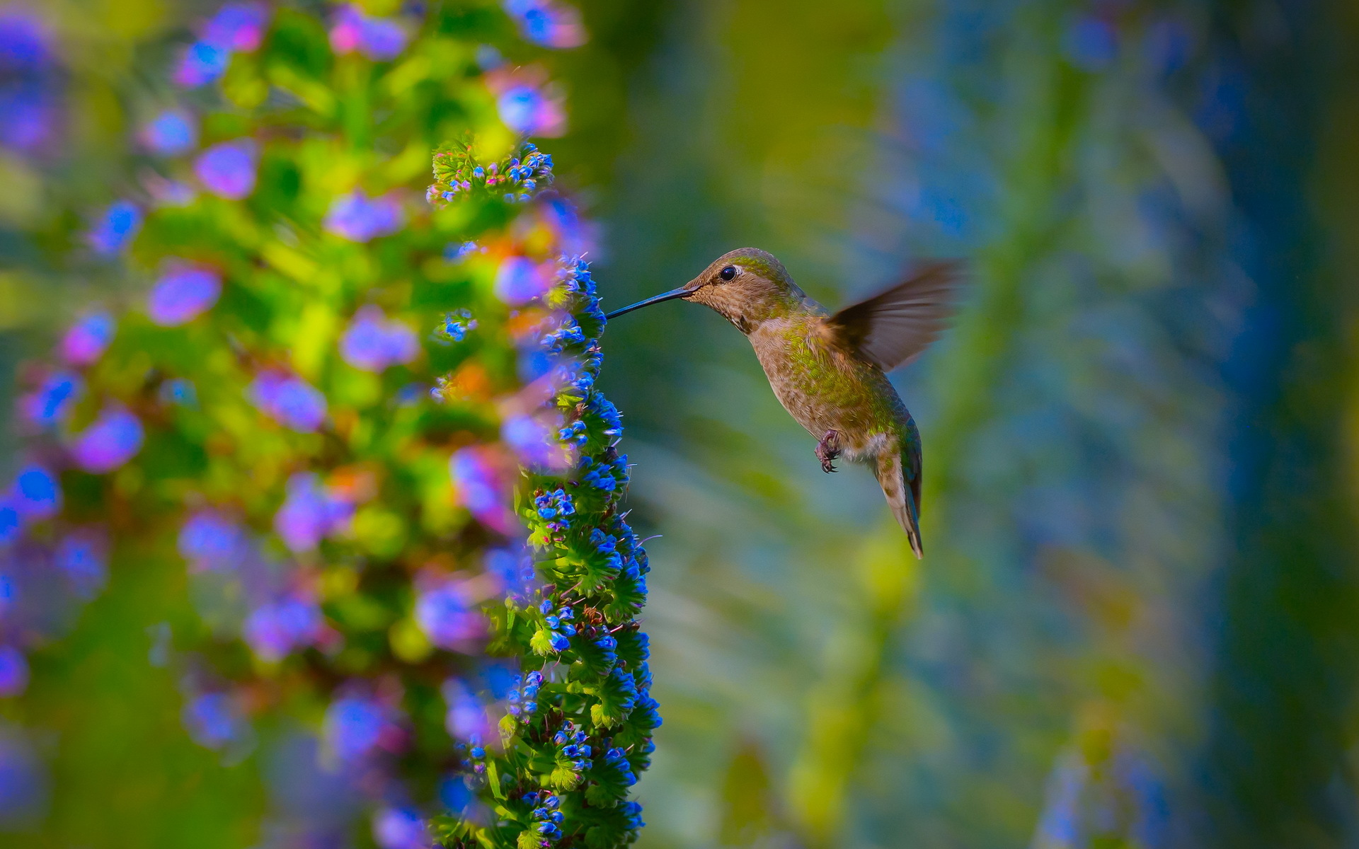 beautiful hummingbird wallpaper 44027