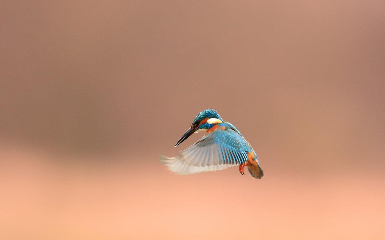 beautiful kingfisher 38974