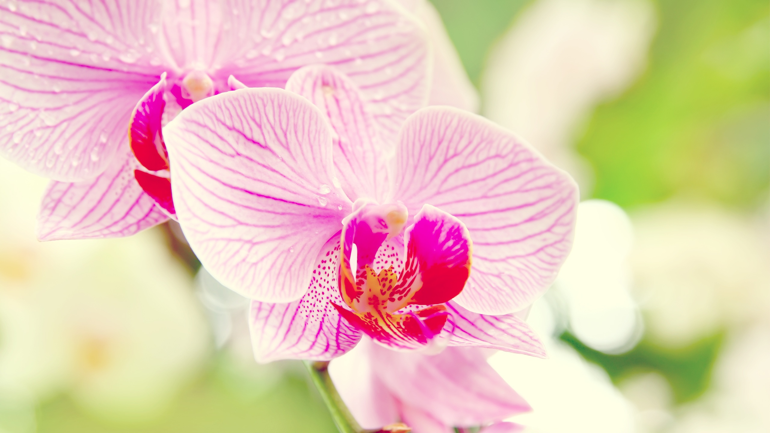 beautiful phalaenopsis wallpaper 39242