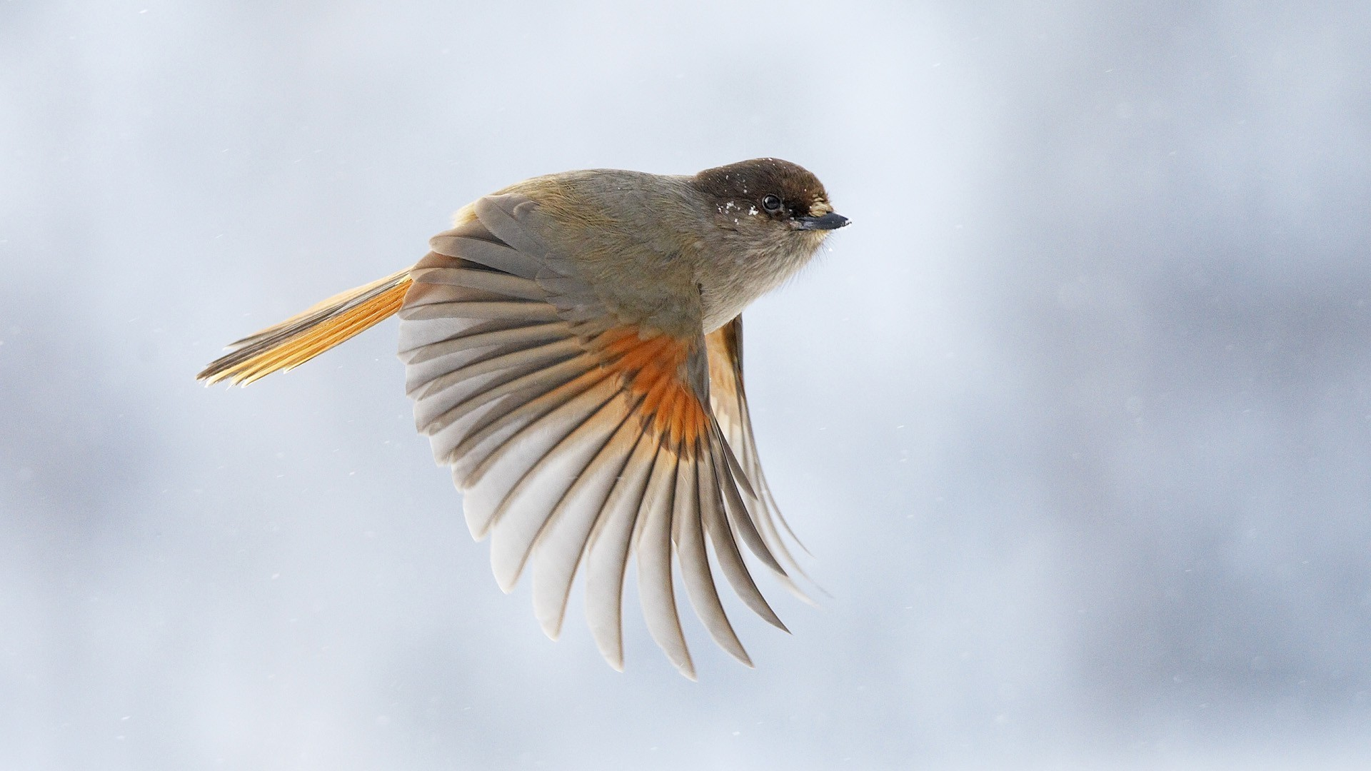 cool sparrow wallpaper 38991