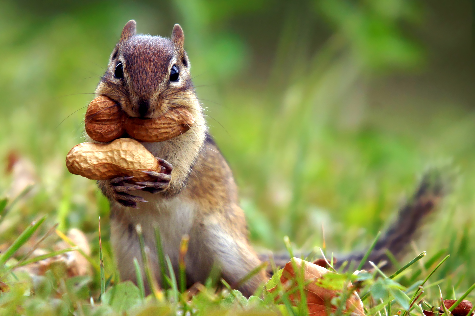 cute chipmunk wallpaper 24729