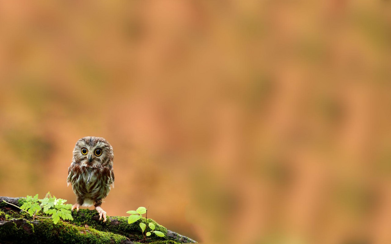 cute owl wallpaper 15766
