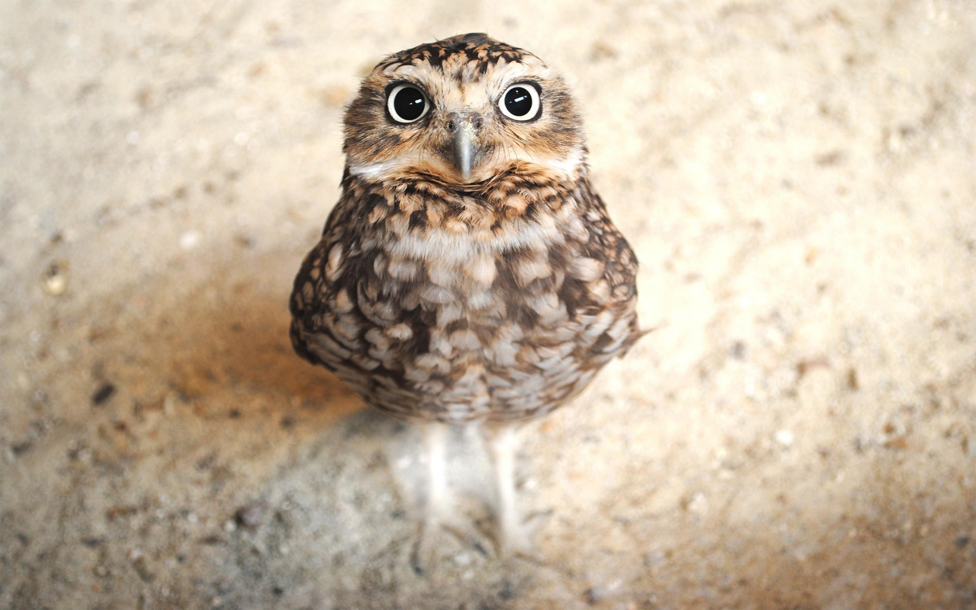 cute owl wallpaper 15770