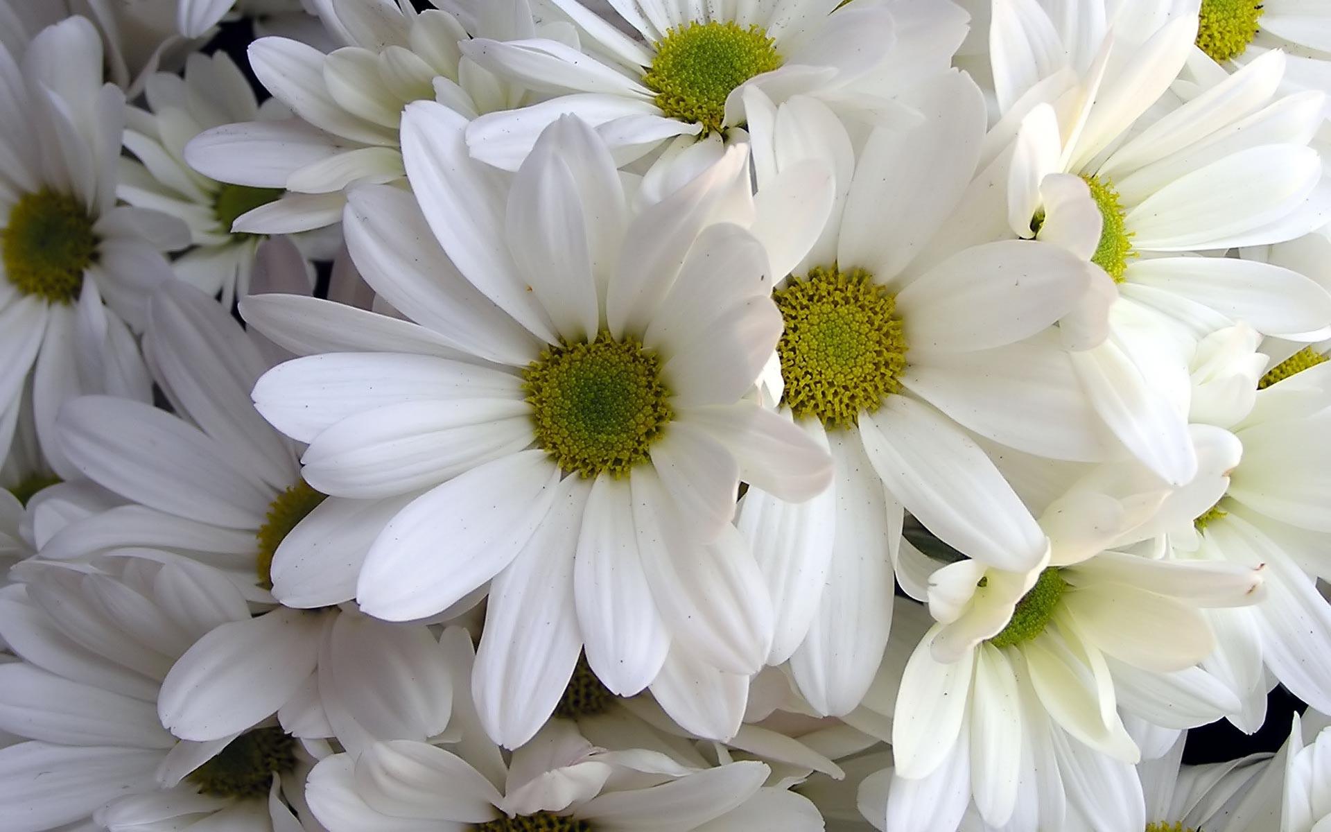 daisies 19748