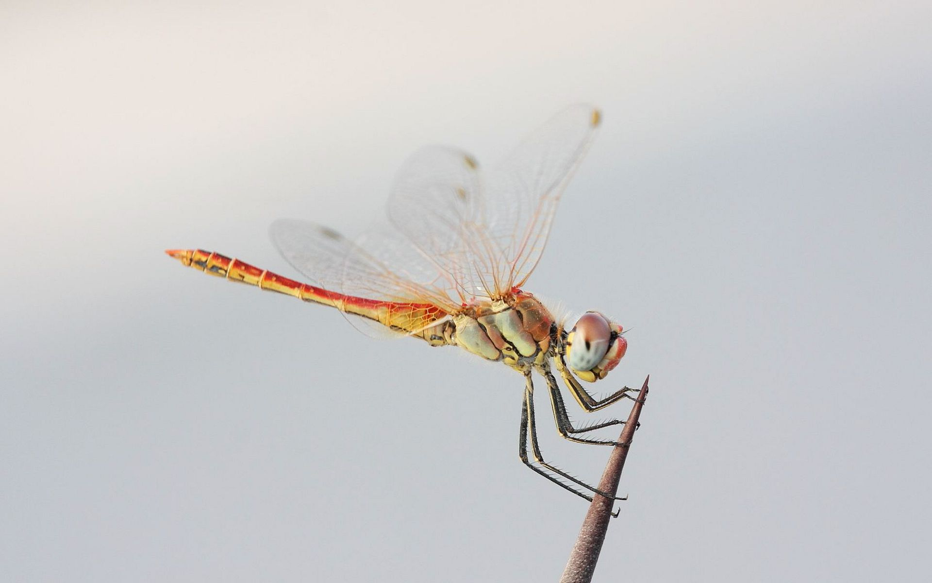 dragonfly wallpaper 39223