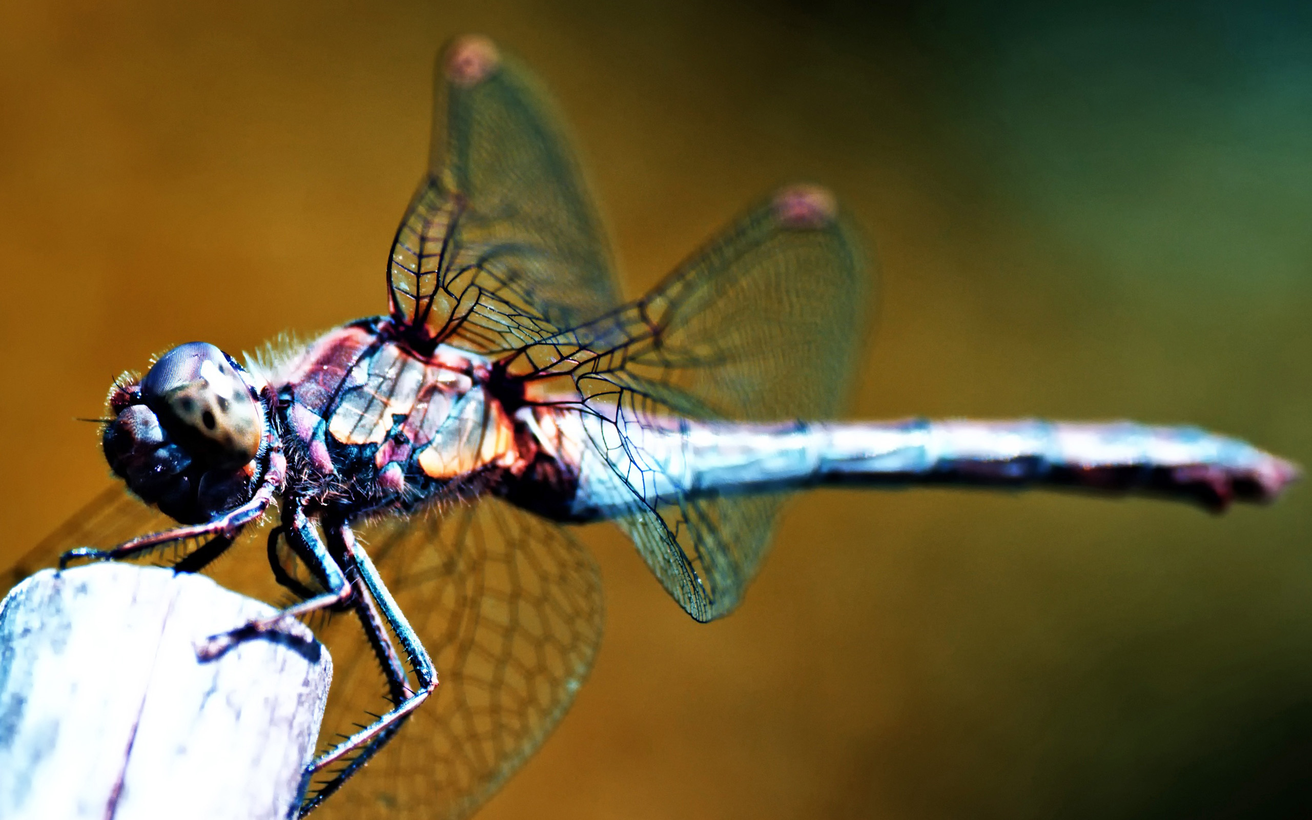 dragonfly wallpaper 39232