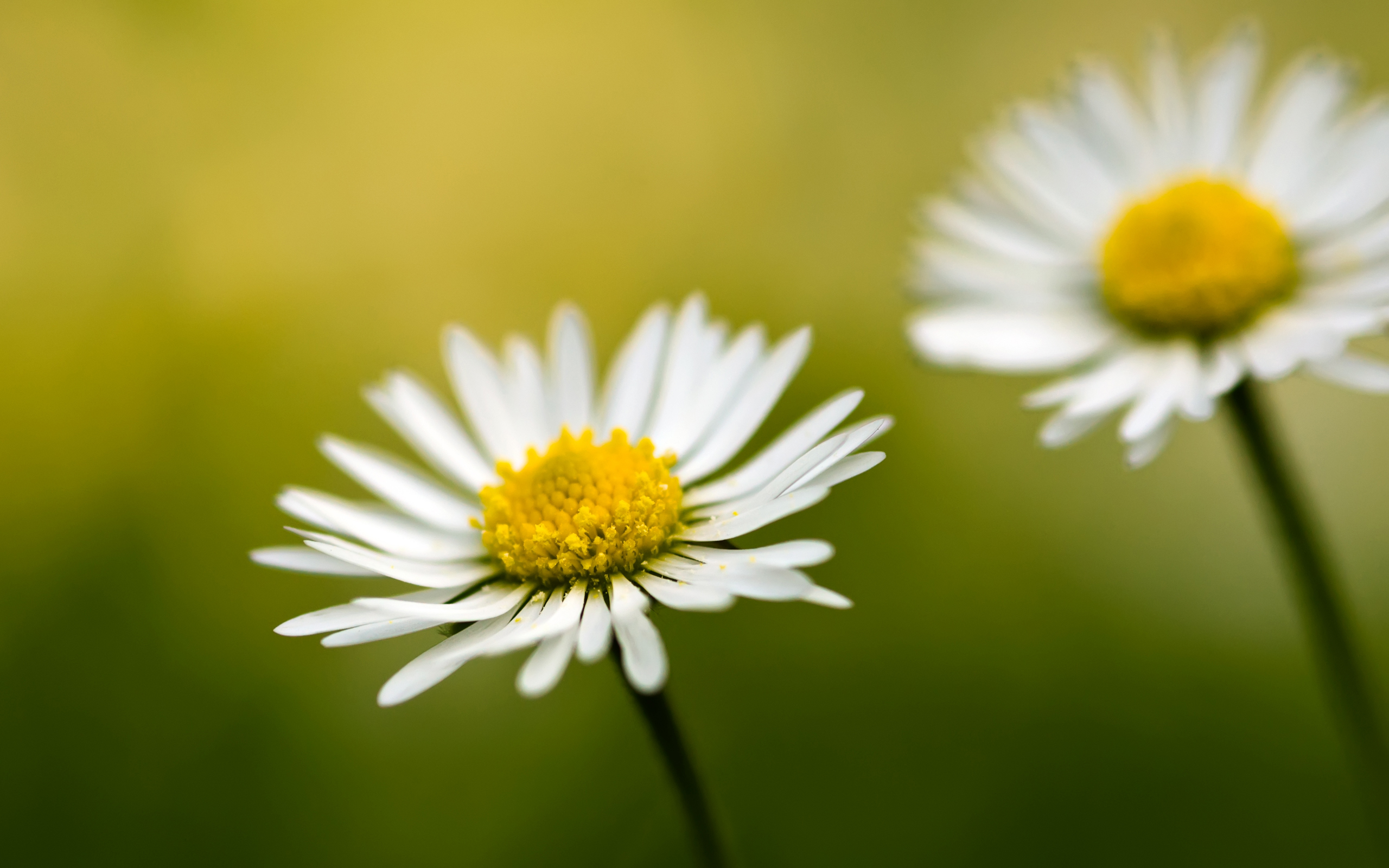 free daisies wallpaper 19752