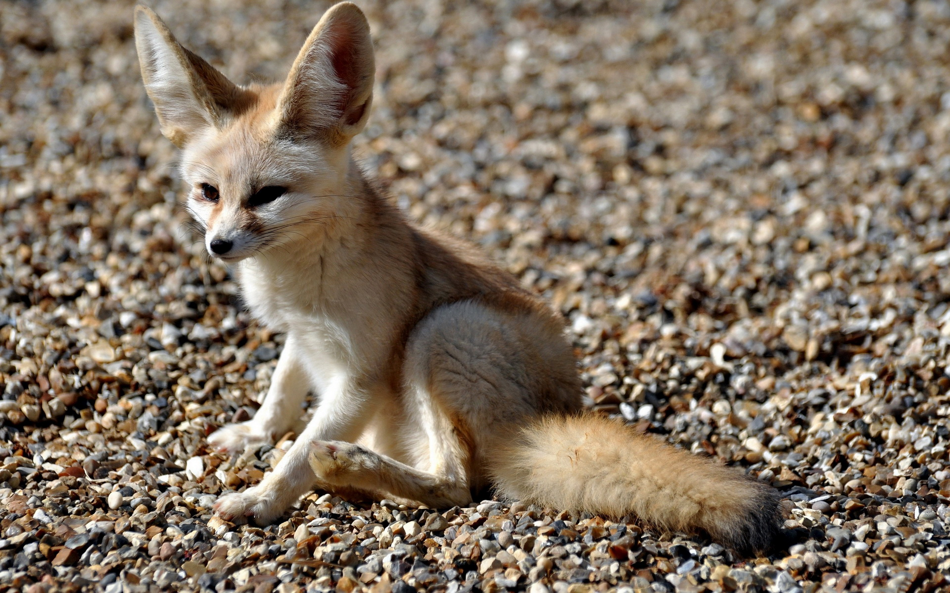 free fennec fox wallpaper 35931