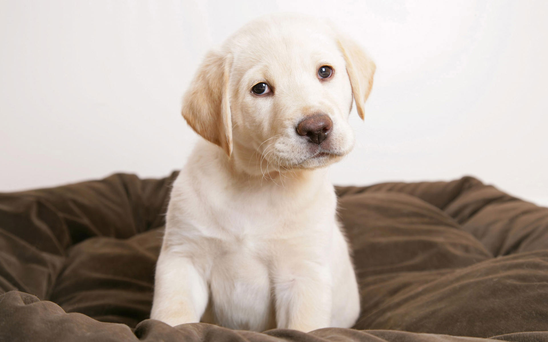 free labrador wallpaper 23486