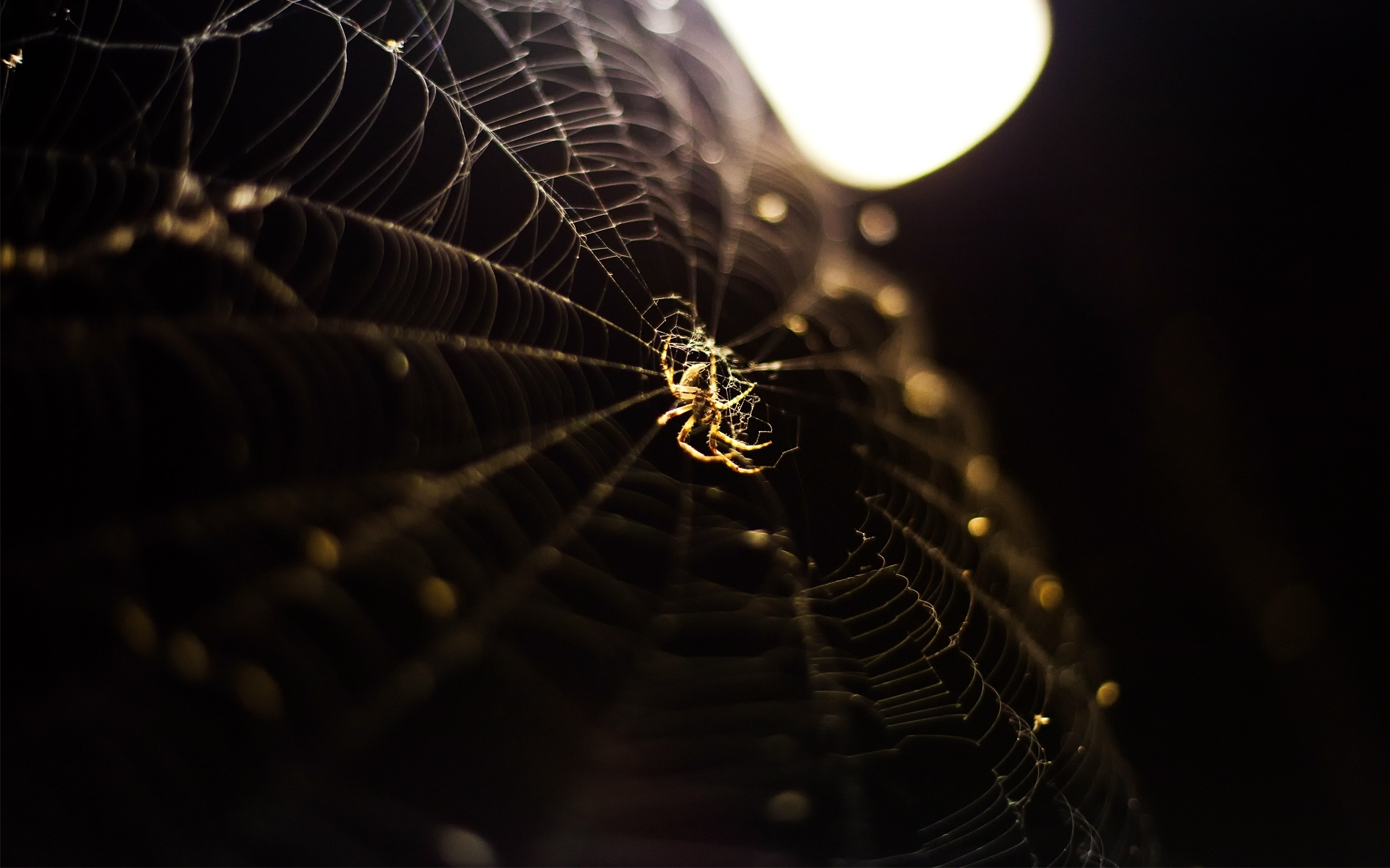 free spider wallpaper 23766