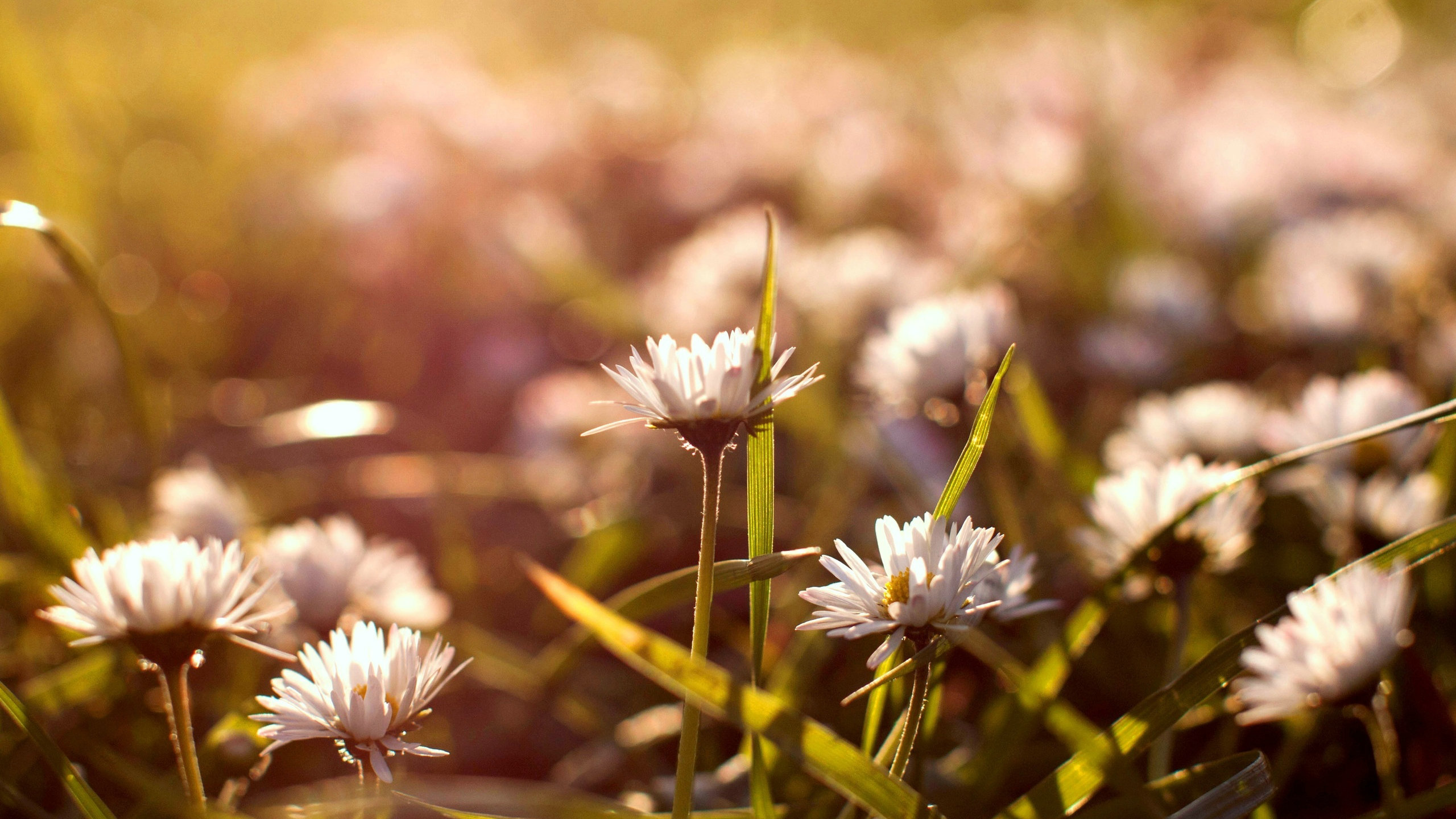 gorgeous daisy bokeh wallpaper 39254