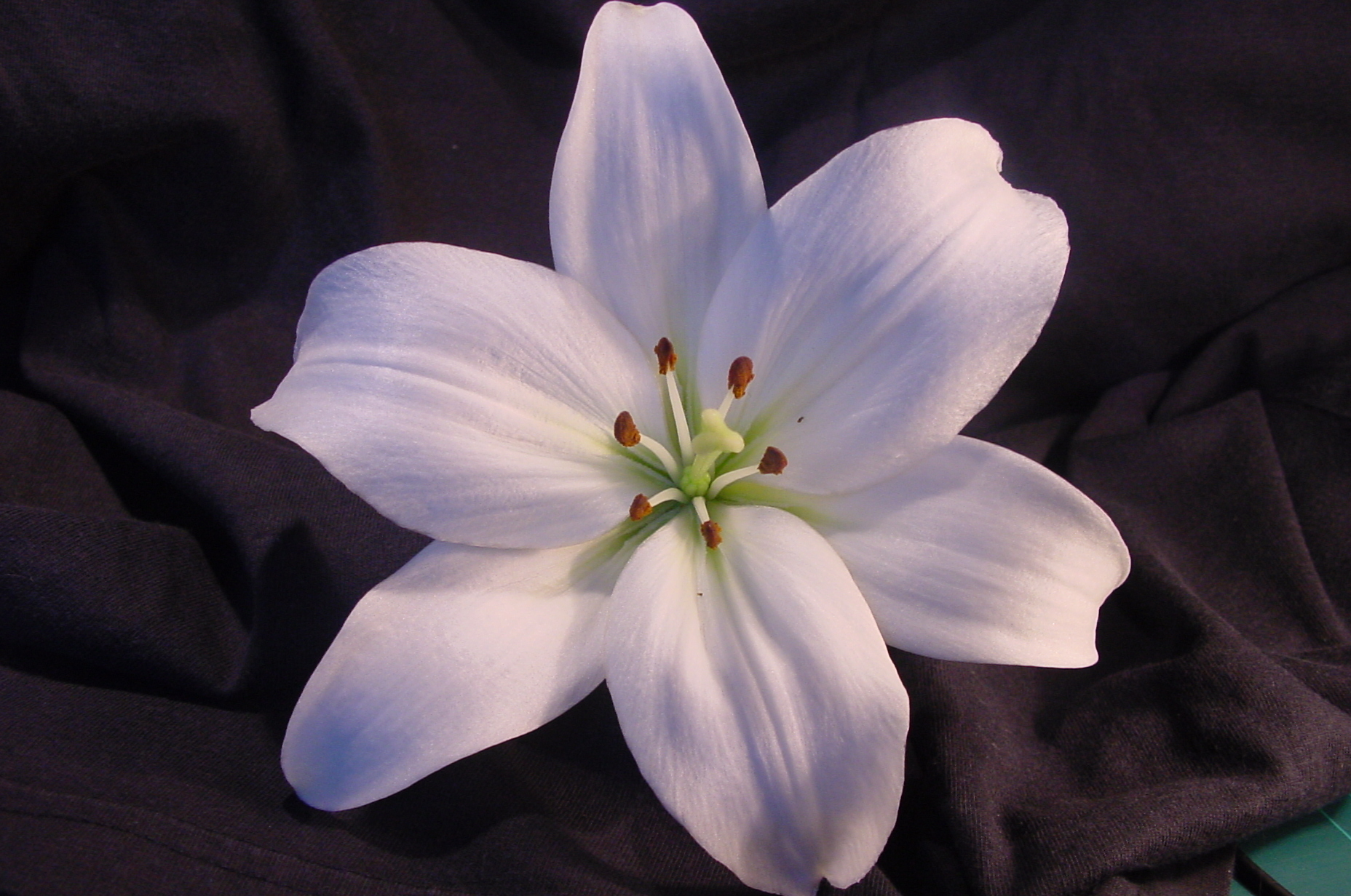 lily flower 12511