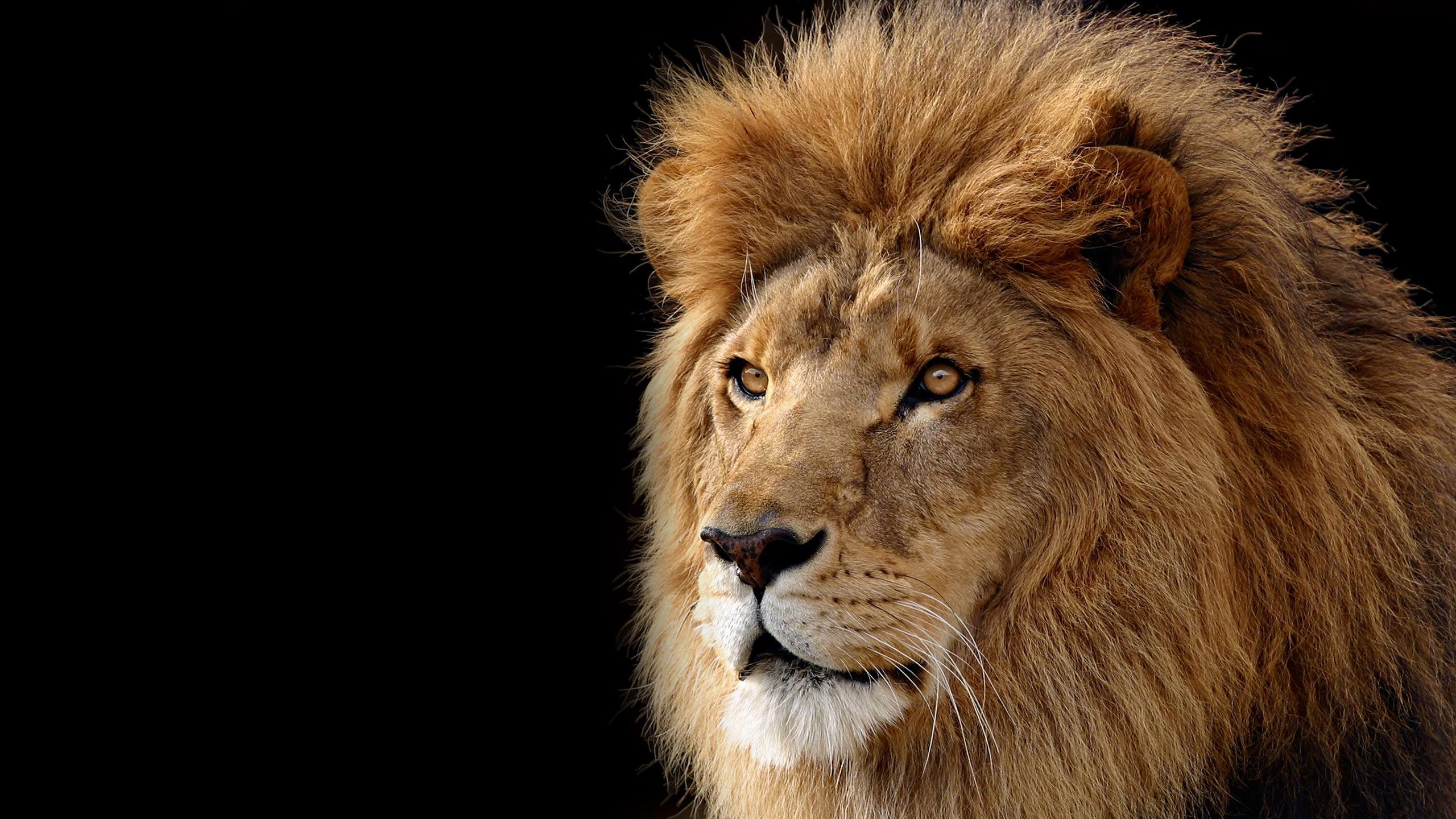 Lions wallpaper 5324 2560x1440 px hdwallsource lions wallpaper 5324 voltagebd Gallery
