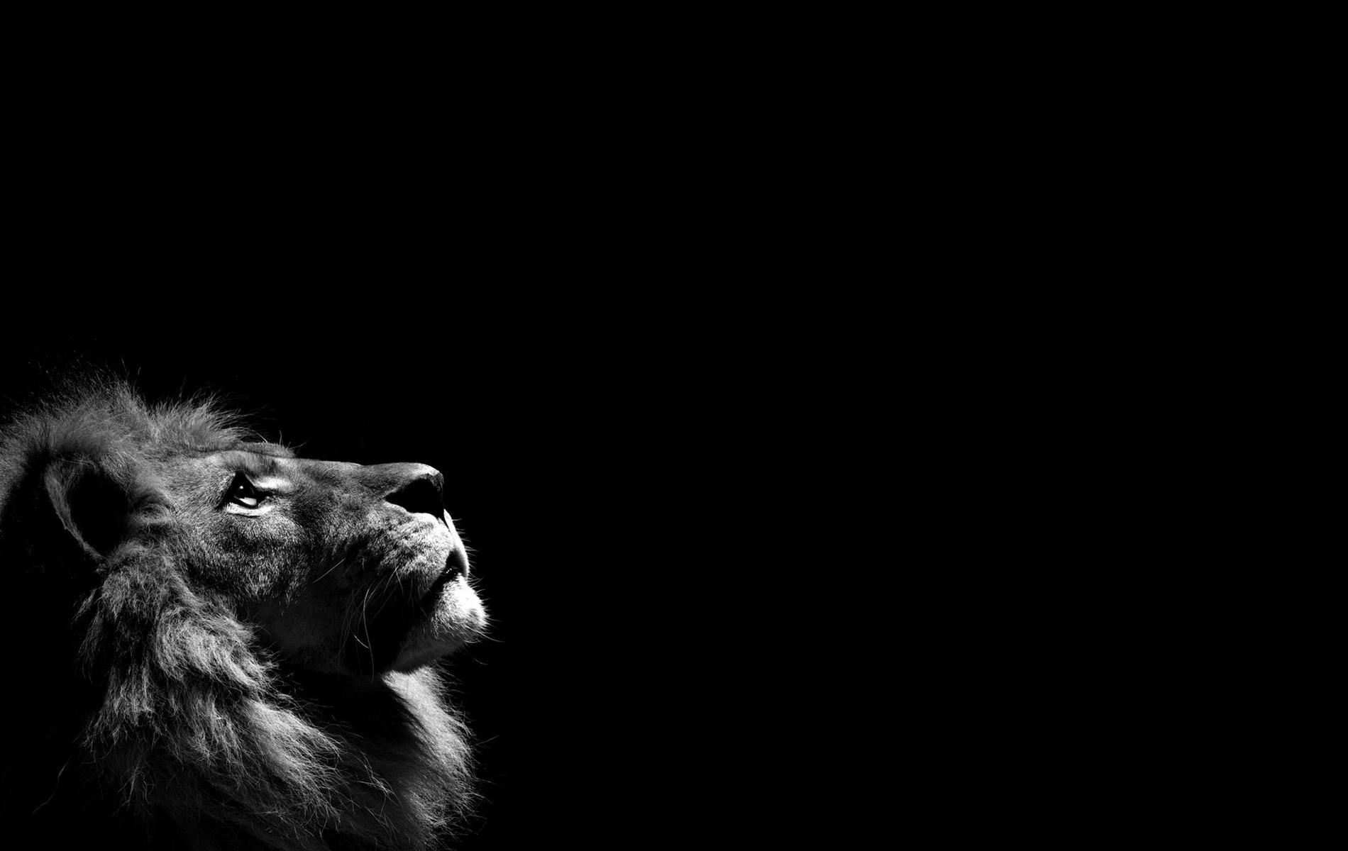 Lions wallpaper 5316 1280x1024 px hdwallsource lions wallpaper 5333 voltagebd Gallery
